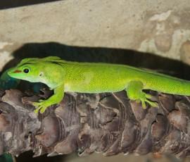 Green LizardVictoria